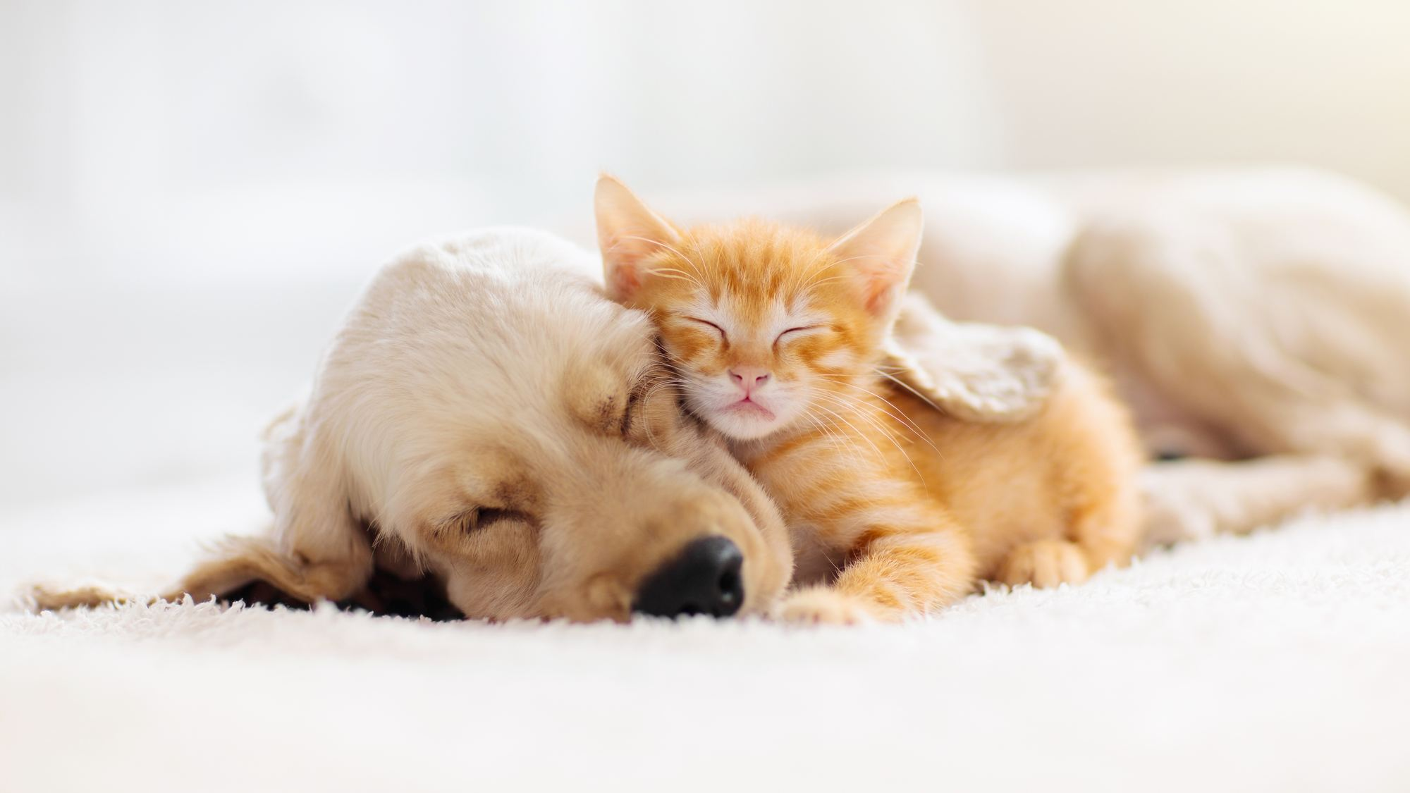 Chats-chiens
